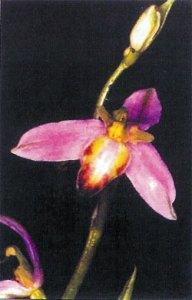 Ophris-apifera-subsp.-tilav