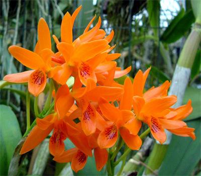 Orchidee  ad Aprile: Cattleya aurantiaca – Cattleya skinneri,  e figlia