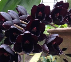 orchidea nera_fredclarkeara
