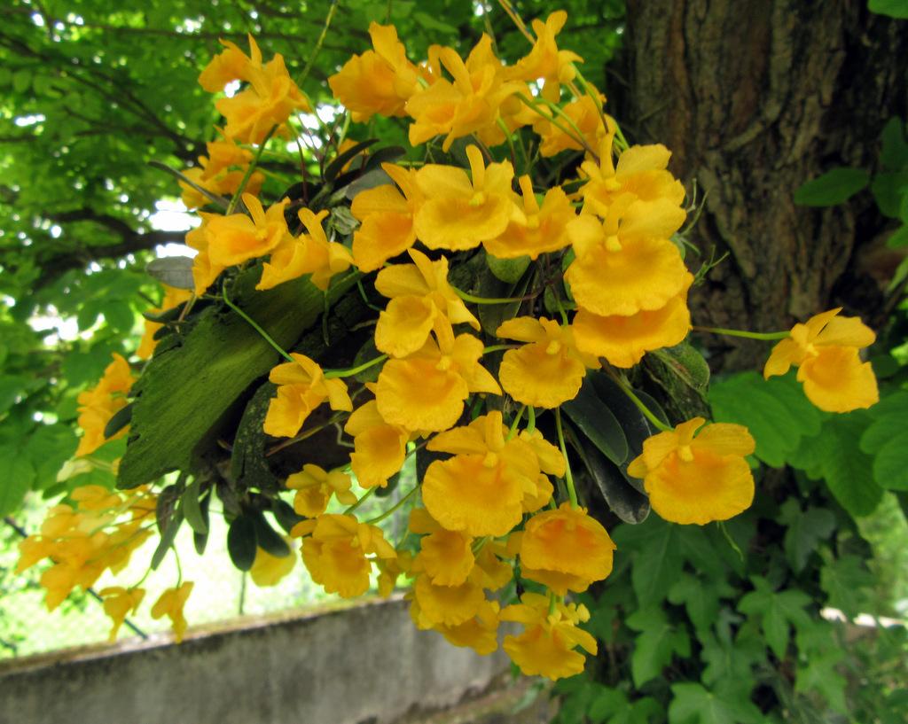 Dendrobium aggregatum, Dendrobium jenkinsii