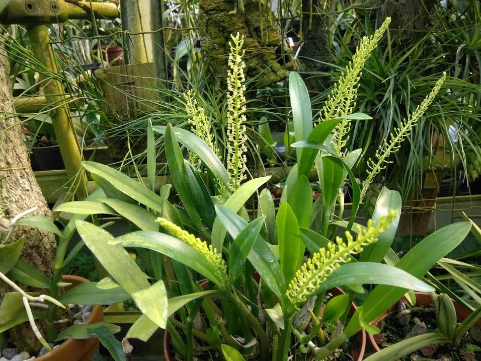 Liparis: un grande genere con piccoli fiori affascinanti