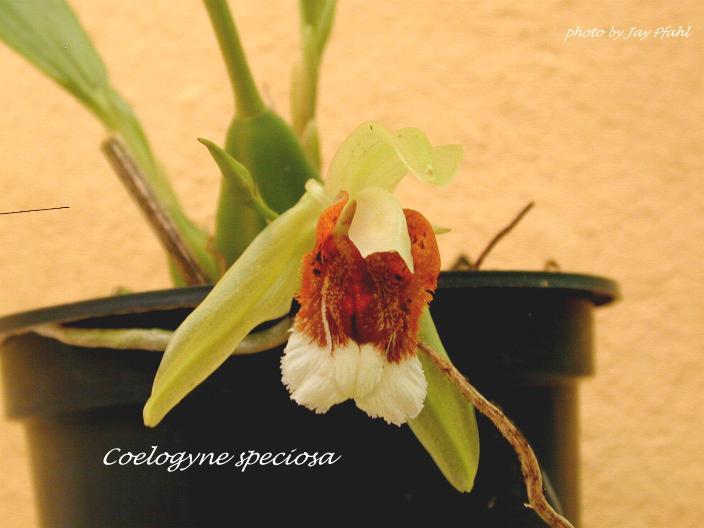 Coelogyne speciosa (image courtesy Jay Pfahl, orchidspecies.com)