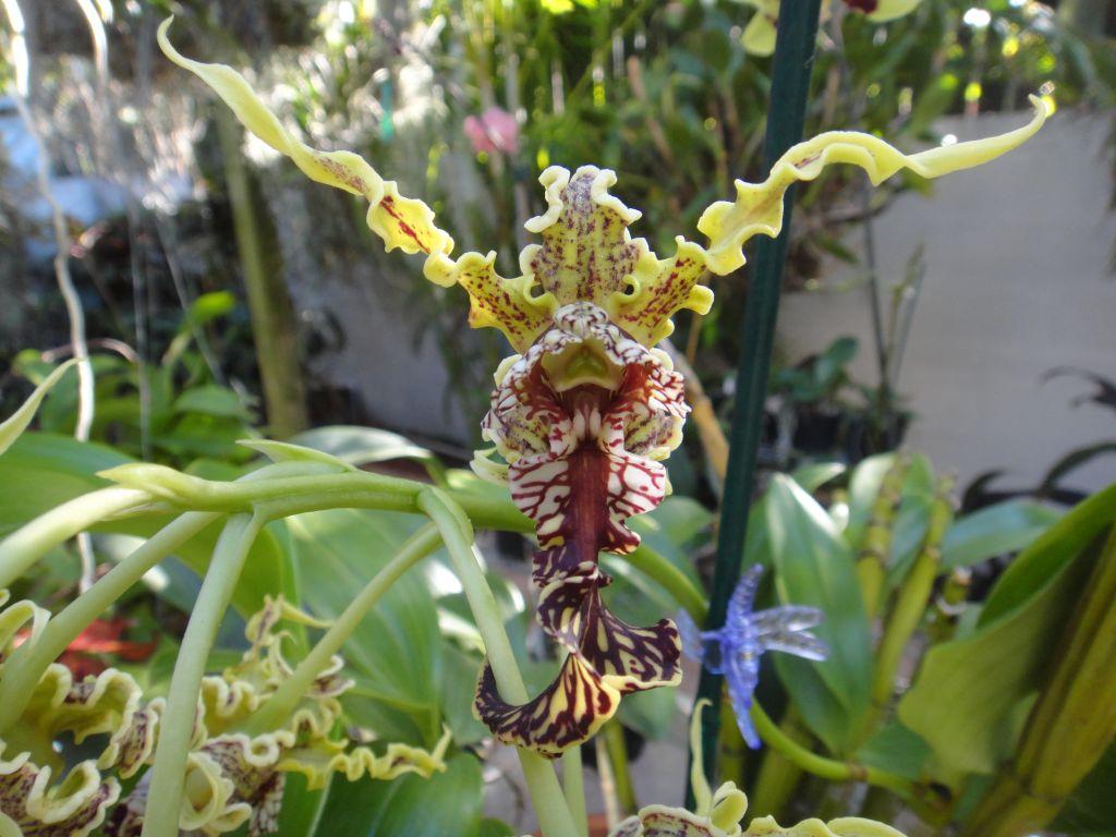 Resultado de imagem para Dendrobium spectabile