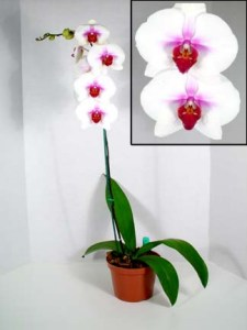 Phalaenopsis Orchid or Moth Orchids