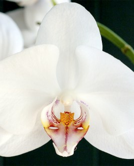 Bird Head Orchid