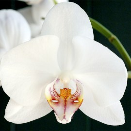 Facts About The Bird Head Orchid
