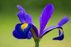 Iris Friendship Flower