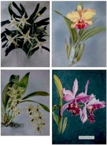 Lovely orchid paintings by Ann Shelley-Lloyd