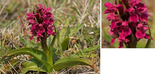 Early Marsh Orchid ssp coccinea