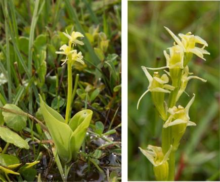 Fen orchid