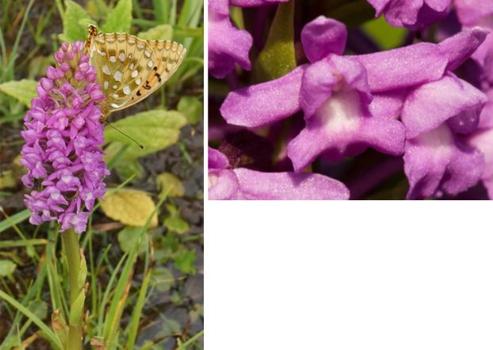 Fragrant Marsh Orchid