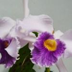 Laeliocattleya Canhamiana 'Coerulea'