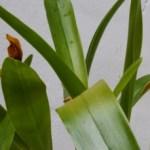 Maxillaria hematoglossa