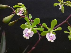 X Epidendrum 'Floribundum', detail.