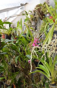 Part of epiphyte wall in the cooler greenhouse showing Dendrobium lawesii and Masdevallia exquisita.