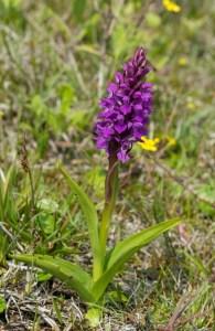 Northern Marsh-orchid (D. purpurella)