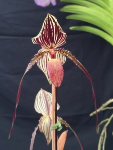 Paphiopedilum St Swithin x phillipinensis