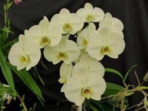 Phalaenopsis Green Watanabee