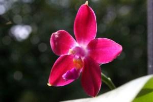 Phal. Penang Girl fiore