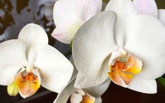 fiori orchidea phalenopsis