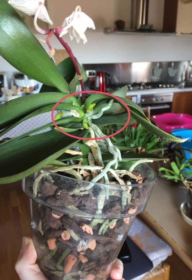 orchidea accestita