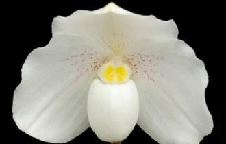 paphiopedilum niveum fiore