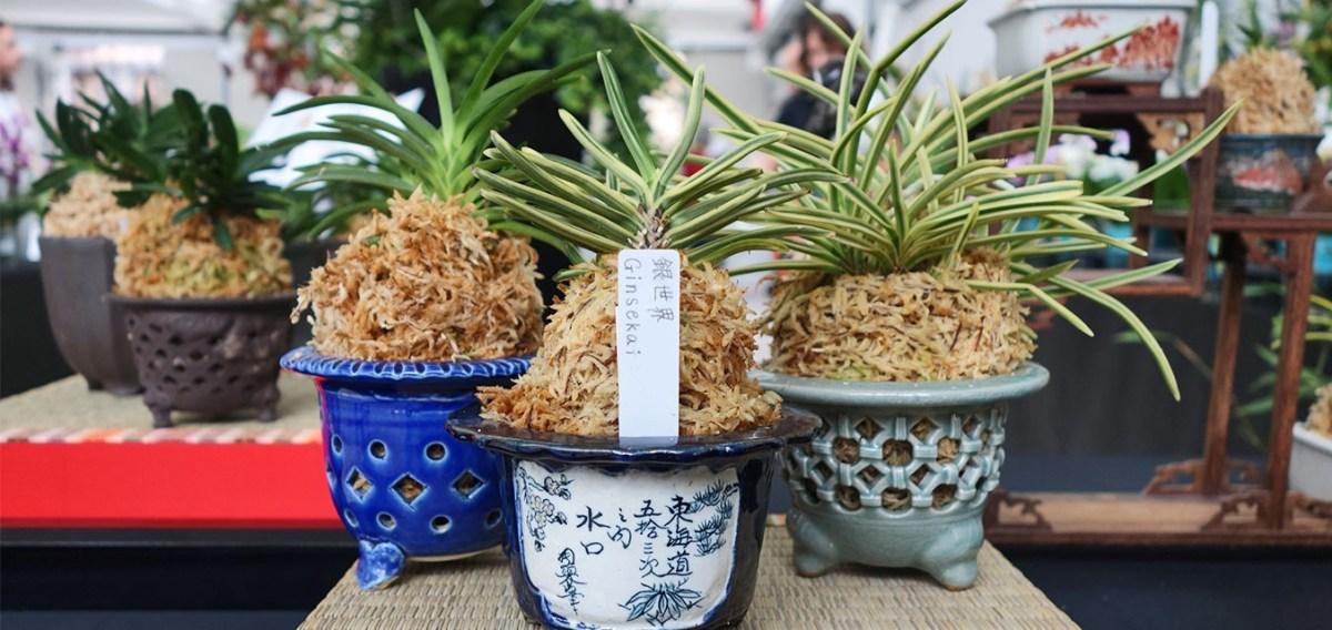 Neofinetia Falcata: l'orchidea dei Samurai