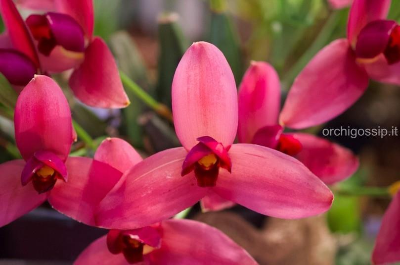 Pordenone Orchidea 2019 - parte 2