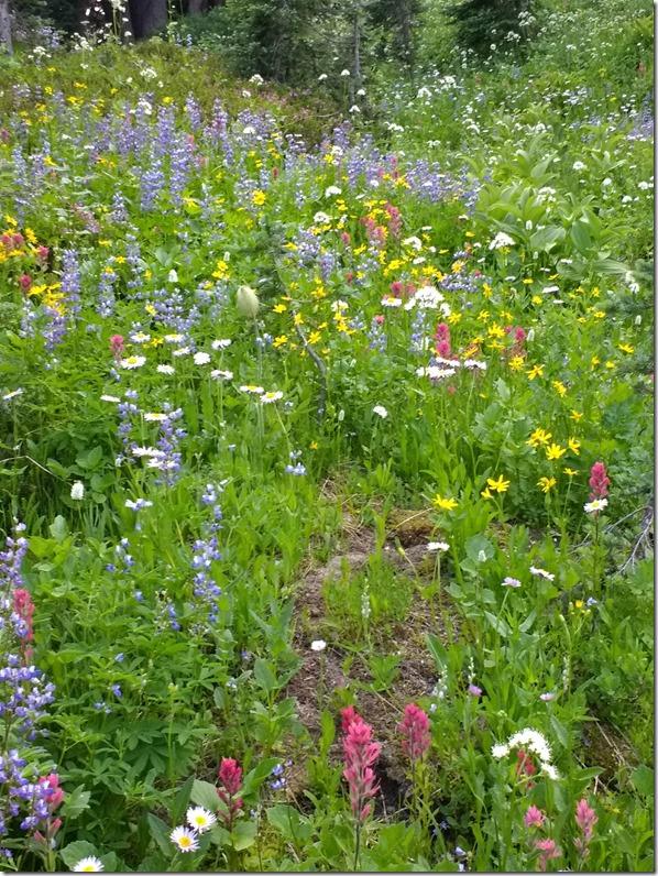 Mt Rainier wildflowers chinook pass