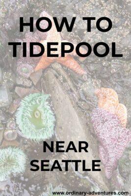 Two orange seastars, one purple seastar and two green anemones in a tidepool.