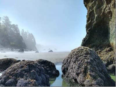 Rocks covered in mussels and tidepools along a sandy beach lined with trees and fog
