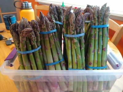 Bundles of asparagus stand up in a plastic container filled with water