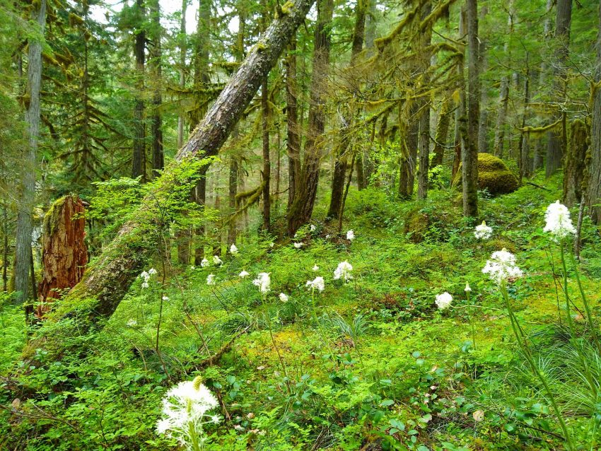 Trees in a forest with green undergrowth and white flowers blooming