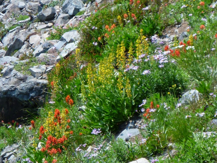 A variety of yellow and orange wildflowers among rocks on the Mt Fremont hike