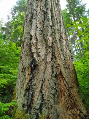 A large, wide old growth Douglas fir tree on the Asahel Curtis Nature trail. The tree is a close up, and it's top is far above the photo. It has rough, deep, brown and gray bark and is surrounded by smaller green undergrowth