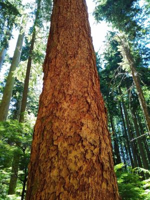 A giant old growth tree is in the center foreground. The top and bottom of it are not visible. It is surrounded by green trees.