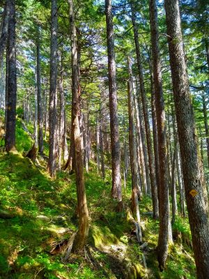 Sunlight filters through a forest high on Deer mountain in Ketchikan Alaska.