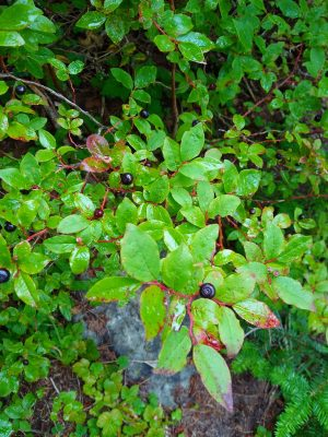 A bright green berry bush with dark blue berries on it. The leaves of the berry bush are tinted with red and the leaves are wet and shiny