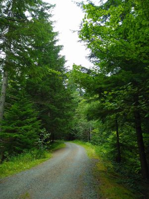 A gravel road, or wide trail, winds through tall green trees on a cloudy day on the Snoqualmie tunnel one way bike ride