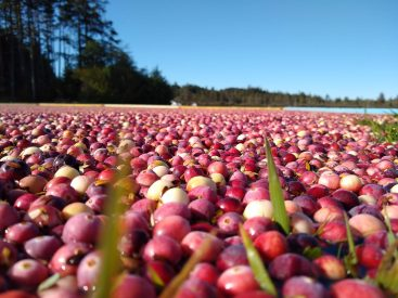 The foreground is a close up of red and white cranberries floating in a bog. In the background a pond and trees are visible on a sunny day