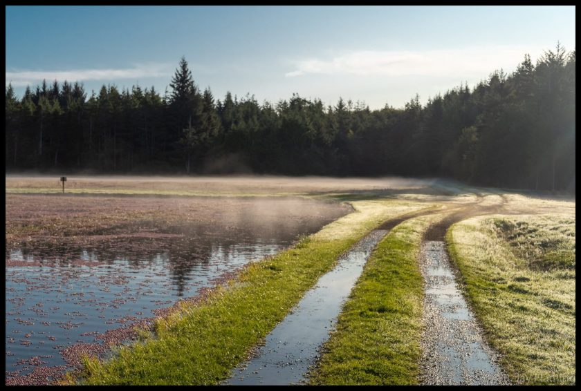 Mist settled along the top of a flooded cranberry bog early in the morning. There are two vehicle tracks alongside it and forest in the distance.