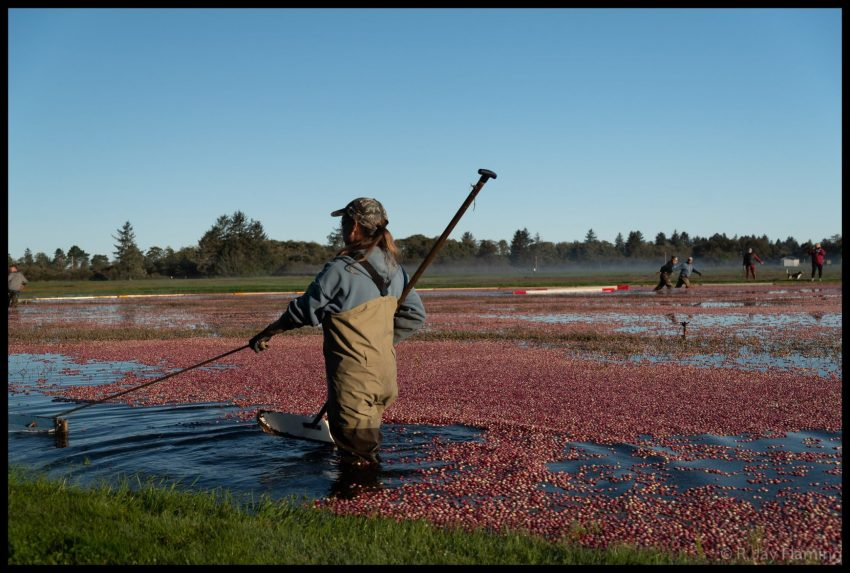 cranberries floating on the surface of the bog. They are being gathered behind a boom. It's a sunny day and there is forest in the distance