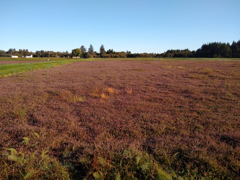 A dry cranberrry bog, with slightly reddish vines below green patches. It's a sunny day and there are evergreen trees in the distance