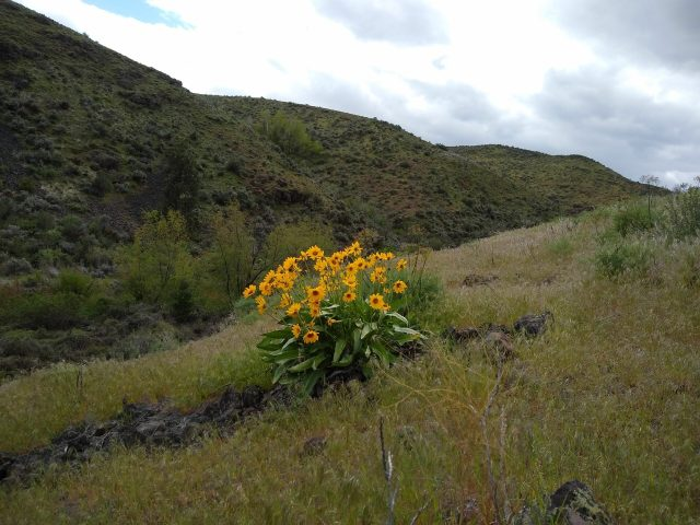 bright yellow wildflowers against hills in Cowiche Canyon, Yakima