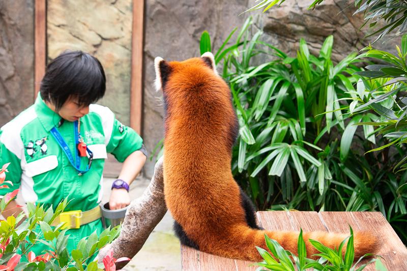 red panda - ocean park hong kong