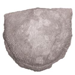 rafinesquinidae