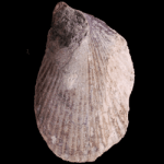 Ambonychia_robusta_250pxB