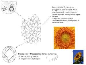 Atactoporella_genus