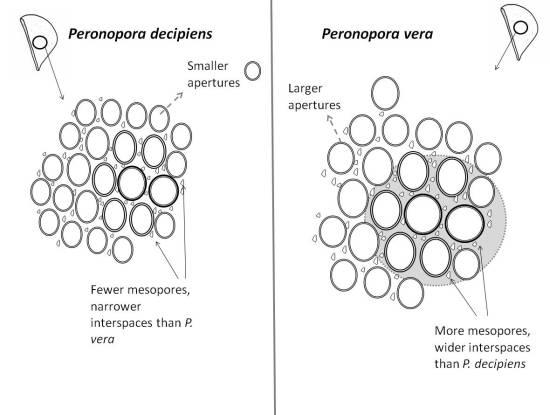 Peronopora_vera_v_decipiens