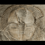 Cryptolithus_tesselatus_250pxB